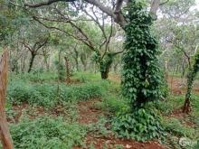Bán 4.4ha đất vườn điều giá 2.2 tỷ tại Thọ Sơn